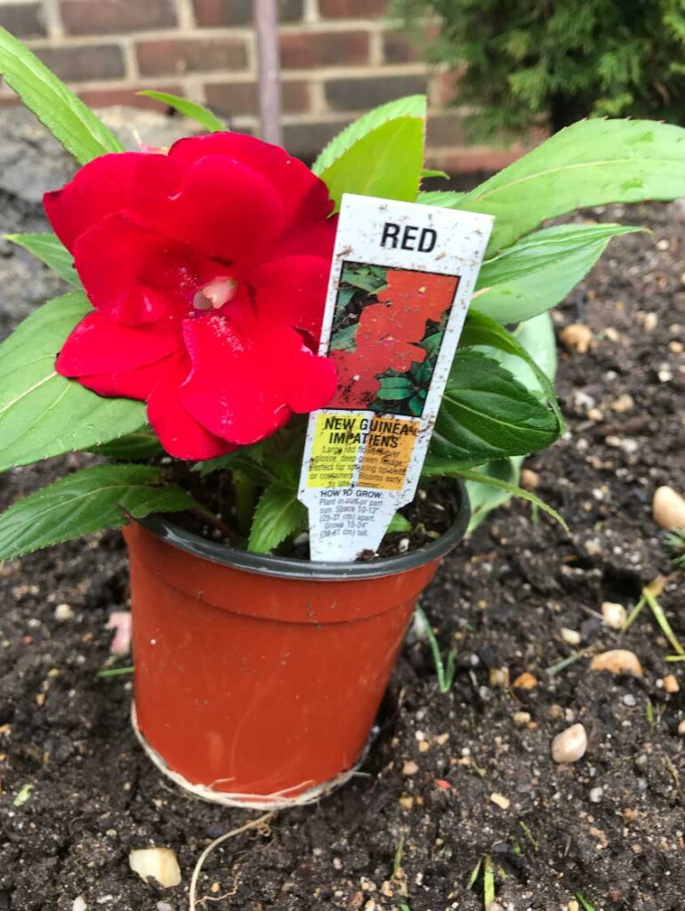 red-new-guinea-impatiens