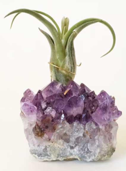 zen-den-air-plant